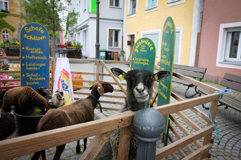 Highlight waren sicher die Schafe und Ziegen am Marktplatz